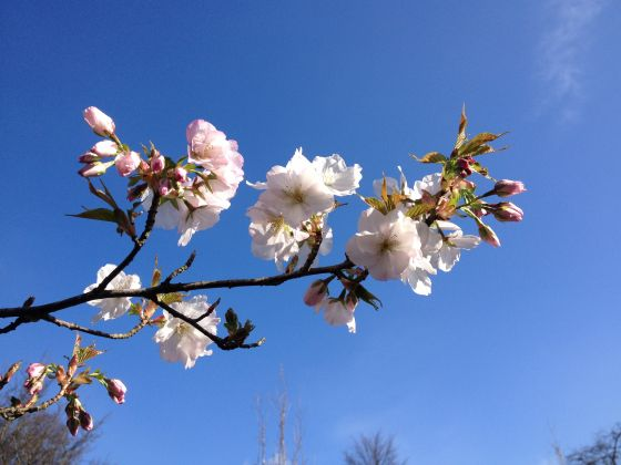First blossom on the new Chester Road cherry trees