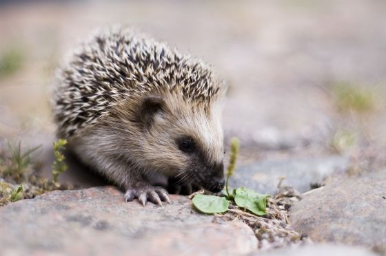 Hedgehog (credit: Lars Karlsson)
