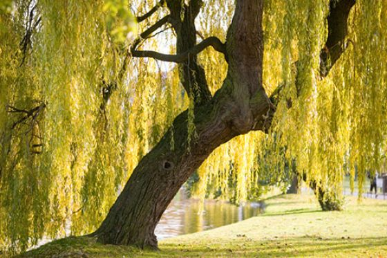 Willow tree (Credit: Ed Parker)