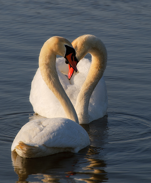 Two swans in the shape of a heart