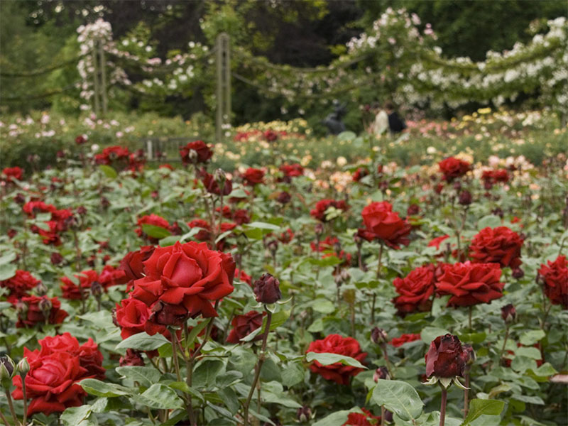 Red Roses in the Queen Mary's Garden