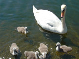 Swan and its cygnets