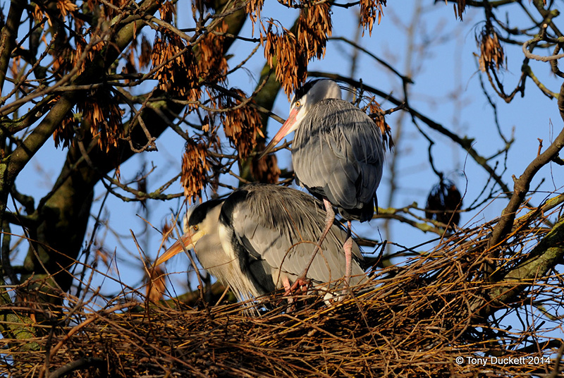 Two herons in a nest