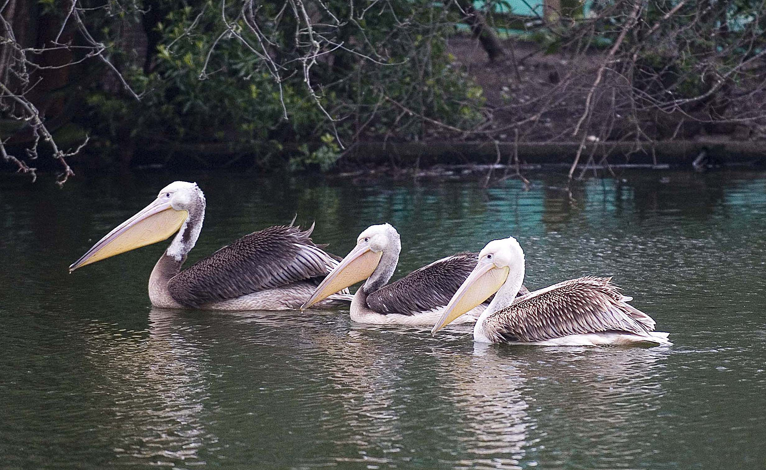 New arrivals for St James's Park as three Great White pelicans take up residence in front of Buckingham Palace