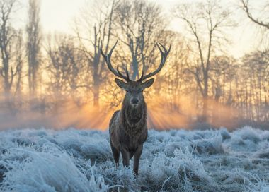 A stag at dawn in winter, Bushy Park, by Max Ellis