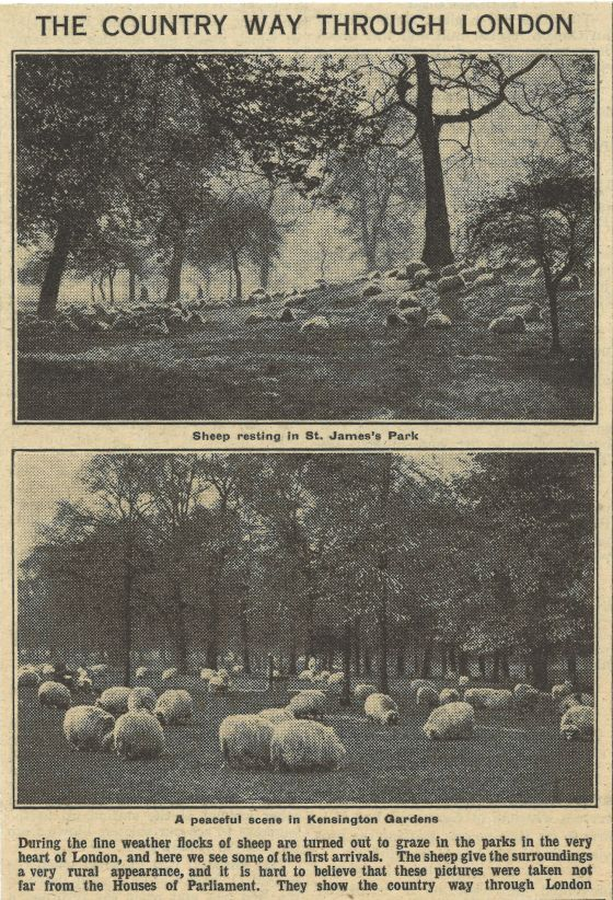 Sheep in St James's Park and Kensington Gardens, 1923 © The Hearsum Collection
