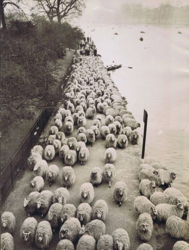 Sheep by the Serpentine, 1937 © The Hearsum Collection