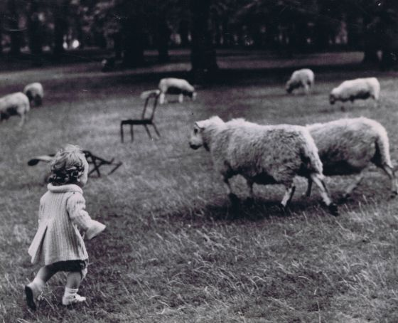 A child chasing a sheep in Hyde Park, 1948 © The Hearsum Collection
