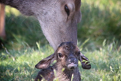A red deer licking its calf after birth