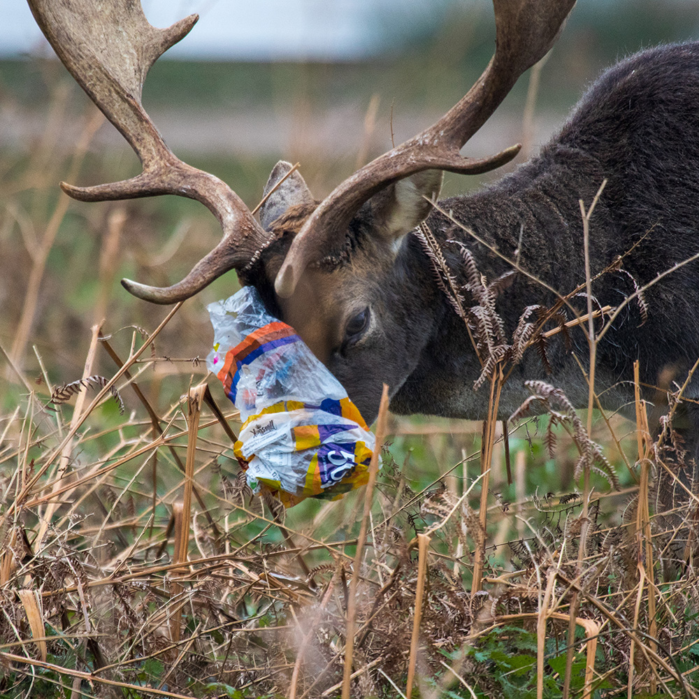 Stag with its nose stuck in a plastic bag