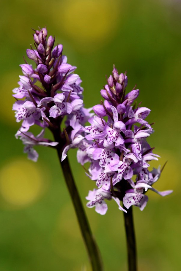 Common spotted orchid (Dactylorhiza fuschsii)
