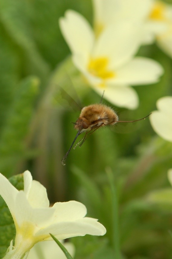 A bee-fly lands on a primrose flower