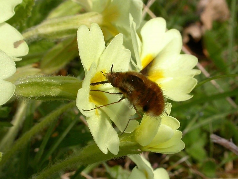 A bee-fly reaches for nectar with its long tongue