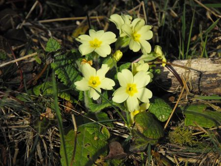 The Primrose – a harbinger of spring