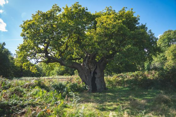 Old tree in Richmond Park © Steve Brenman