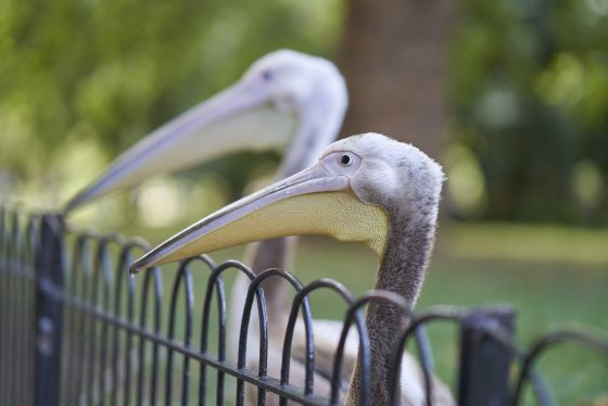 Catch a live, festive feeding of the St. James's Park pelicans