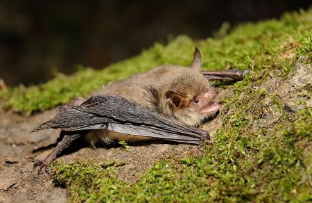 UK Bat Species