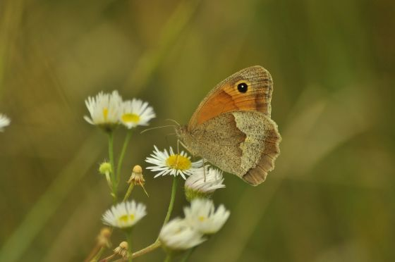 Rare Meadow Brown butterfly