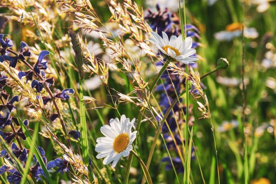 Daisies and wild grasses