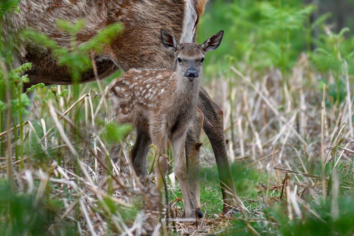 Baby deer in Bushy Park. Credit Amanda Cook