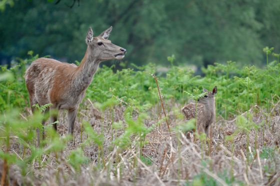 Baby deer and its mother in Bushy park. Credit Amanda Cook