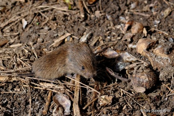 Short-tailed Vole - Photo: Tony Duckett