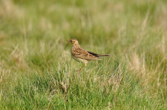 Skylark (c) Tony Duckett