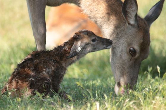 Newly-born red deer with its mother. Credit Terri Watson