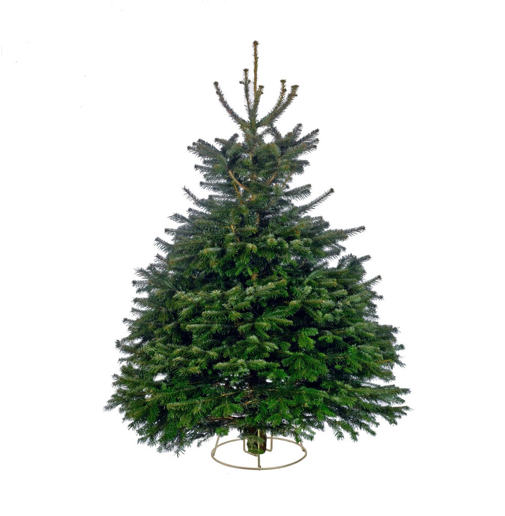 nordman fir abies nordmanniana the most popular tree - What Kind Of Trees Are Christmas Trees