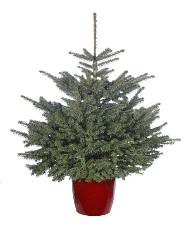 Pot Grown - Blue Spruce