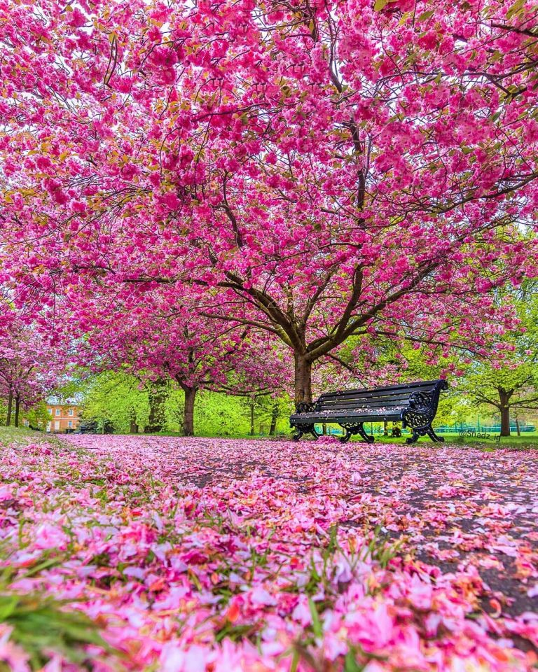 10 Things You Might Not Know About Cherry Trees The Royal Parks