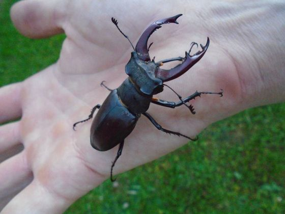 Stag Beetle in Greenwich Park
