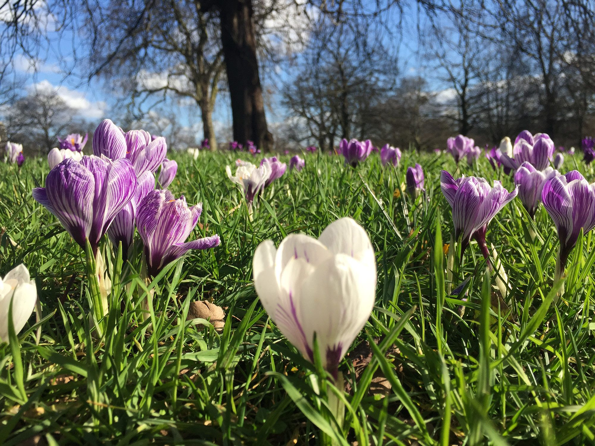 Crocuses in Hyde Park