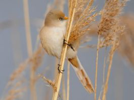 Bearded Tit in the reed beds along the Serpentine