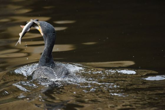 Cormorant with a fish