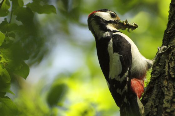 Great spotted woodpecker with a beak full of caterpillars