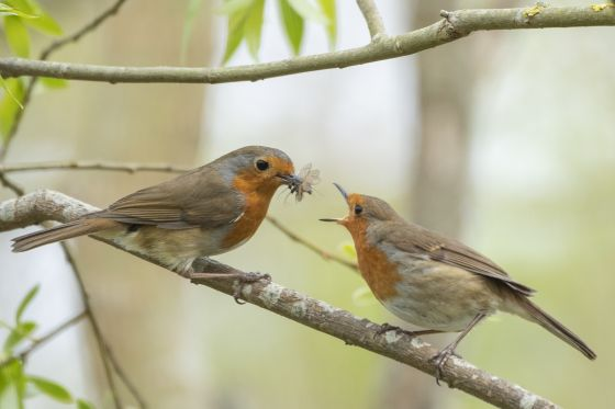 Robin eating insect - Credit - Sue Lindenberg