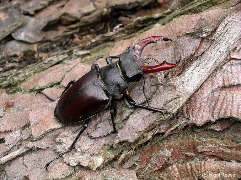 A stag beetle is a detritivore