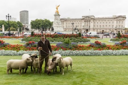 Woolly lawnmowers take up residence in The Green Park