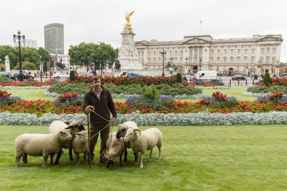 Rare breed sheep pose outside Buckingham Palace