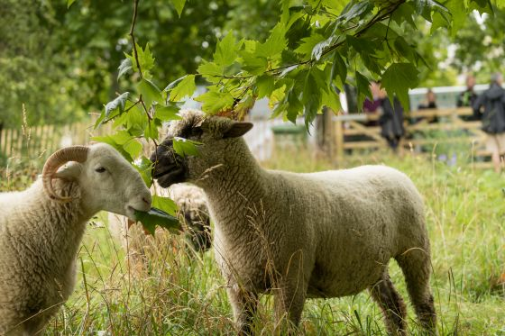 Rare breed sheep graze on wildflower meadow in The Green Park