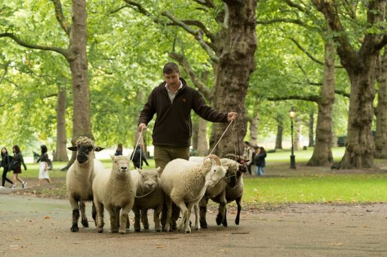 Rare breed sheep are led through The Green Park