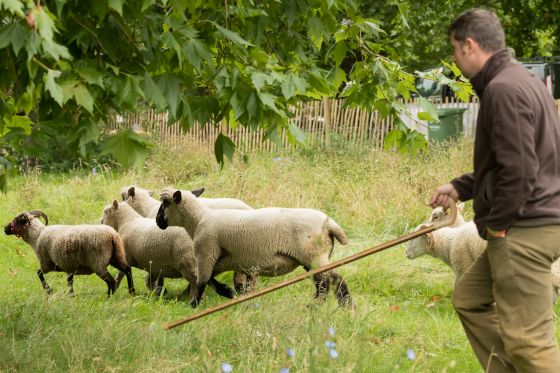 Shepherd herds rare breed sheep in The Green Park