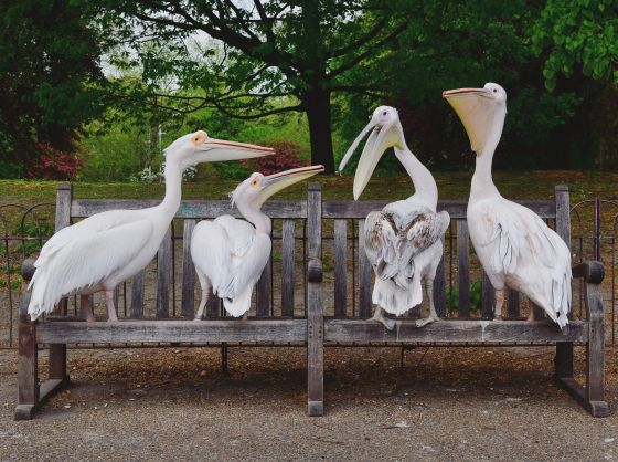 Pelicans on benches. Credit: Jeff Over.