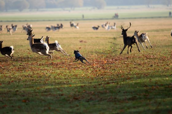 Sadly 90 incidents of dogs chasing deer have been recorded since 22 March 2020