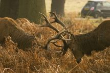 The Royal Parks' advice during rutting season