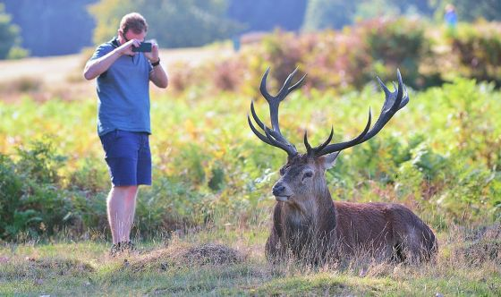 Richmond Park stag being photographed at close range Credit Steve Fenton
