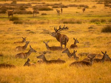 Stag and his hinds Credit Jules Cox