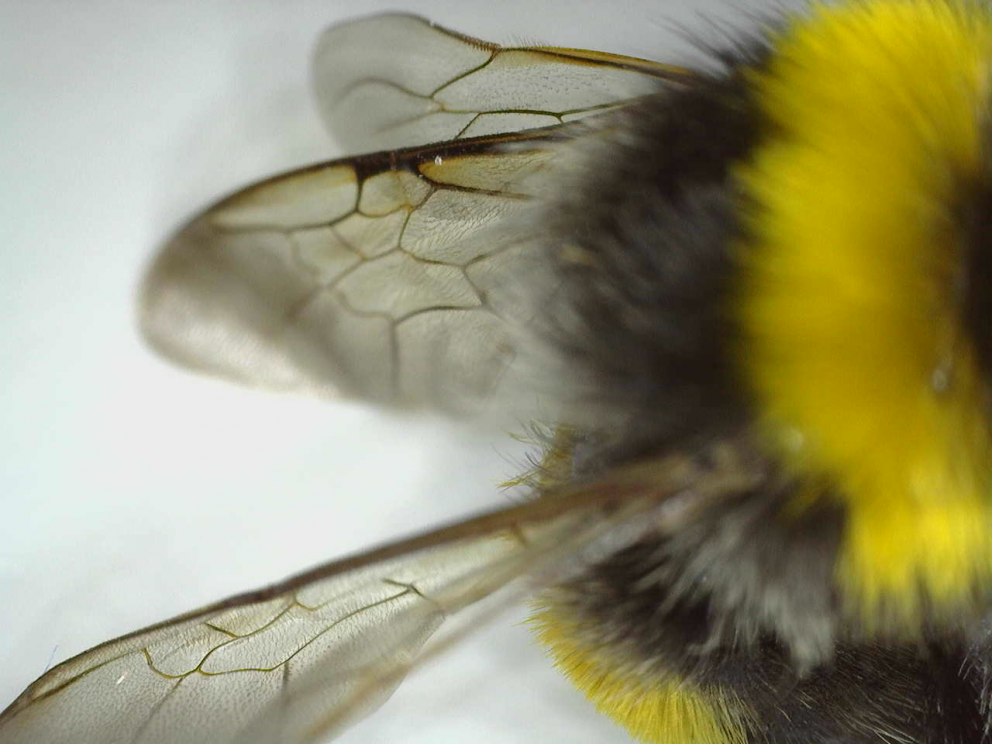 wings of a bee