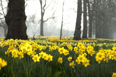 Daffodils in St James's Park